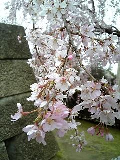 福井城址の枝垂れ桜