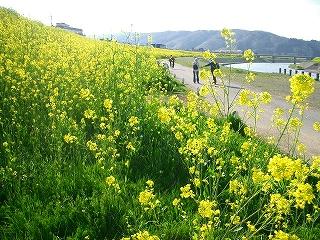 足羽川菜の花